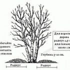 Как посадить берёзу?