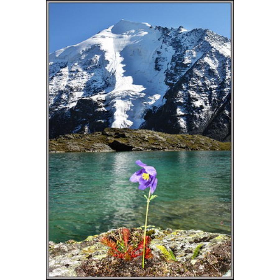 Одинокий цветок Долины Семи Озер. Алтай.